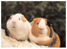 Adopter un cochon d'inde