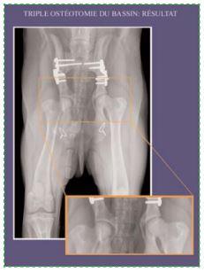Dysplasie hanche chez le chien