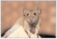 vous venez d'adopter un rat