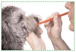 Brossage des dents chien