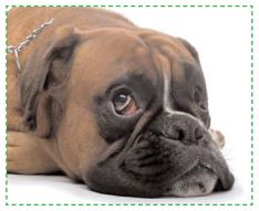 Hypothyroidie chez le chien