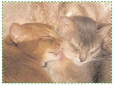 Leucose Feline