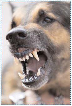 un chien dangereux ?