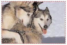 Deux chiens loups
