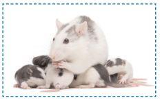 La santé du rat