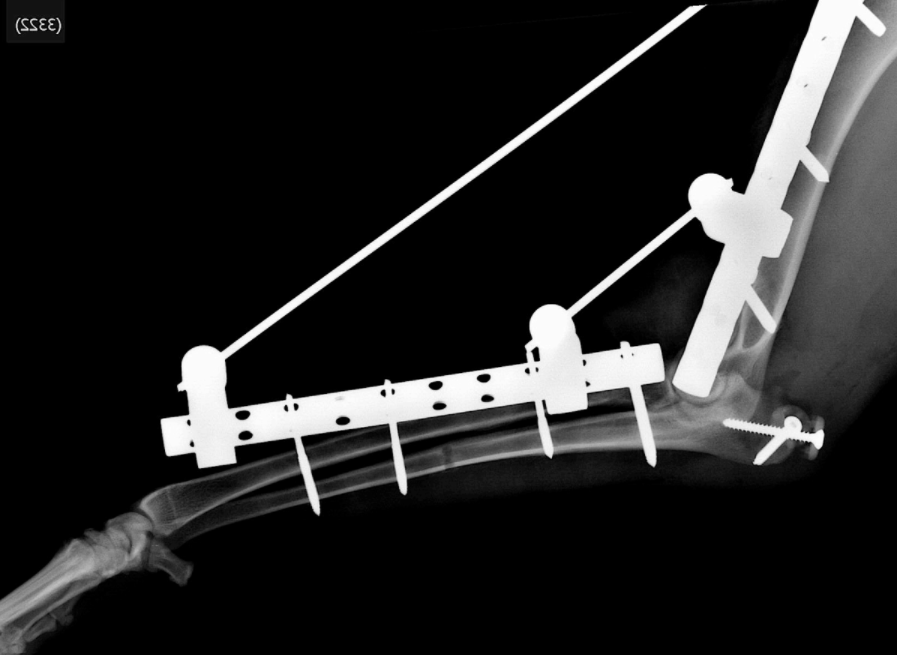 réinsertion du tendon du triceps par vis et rondelle crantée - Clinique vétérinaire Orthovet