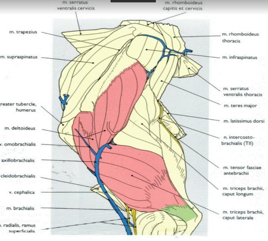 schéma épaule et bras du chien - Clinique Orthovet