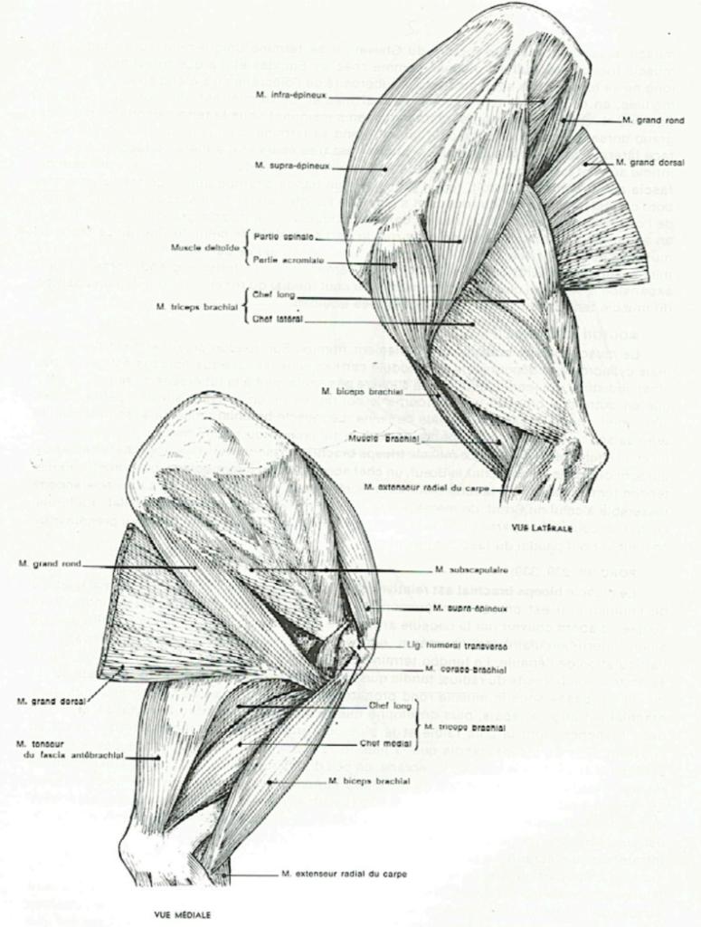 muscle de l'épaule et du bras du chien - clinique orthovet St Jean De Vedas