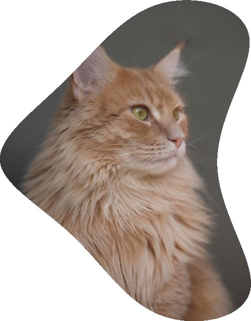 Soigner la dysplasie des hanches chez le chat